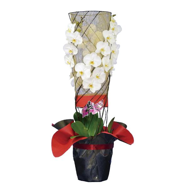 胡蝶蘭 彩華のワルツ 3本立ち