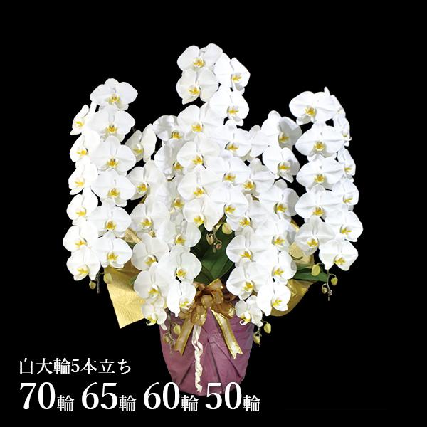 胡蝶蘭 白大輪5本立70~50輪
