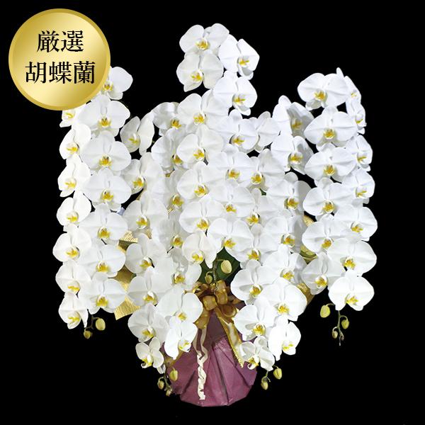 【厳選胡蝶蘭】オレアル 白大輪胡蝶蘭5本立ち75輪